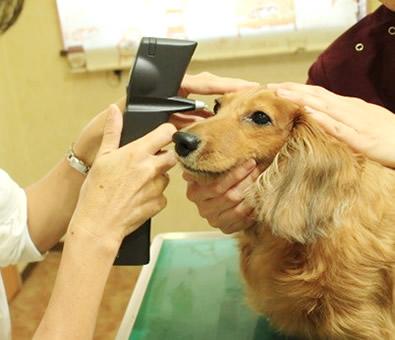 東京都あきる野市 ソレイユ動物病院|眼科診療<眼圧検査>